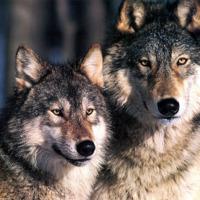 twee_wolven1.jpg